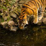 Tiger beim Trinken